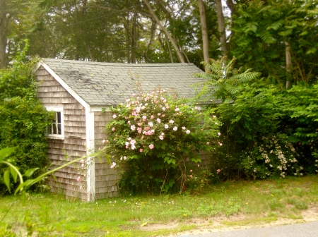 Photo of the day wild rose covered cottage capescape for Bungalow di cape cod